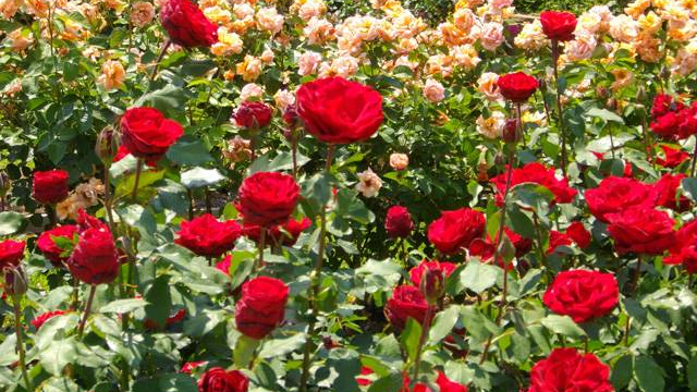 growing roses tips